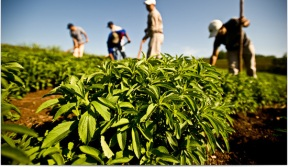 stevia_cultivation